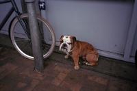 76_doggie-boxer-ah01b.jpg